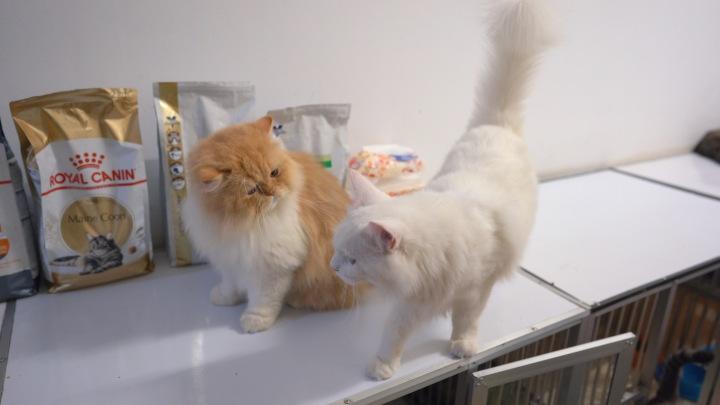 mata kucing flatnose
