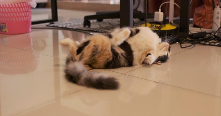 kucing betina birahi